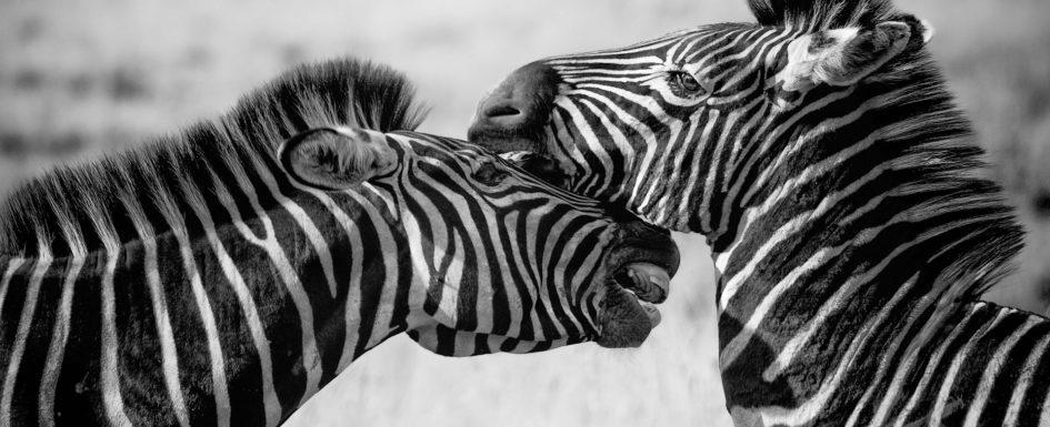 zebra-1169259_1920